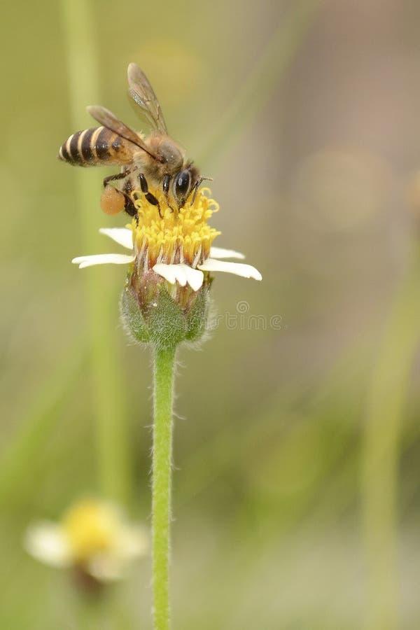 De bij verzamelt Honey On The-Bloem stock foto's