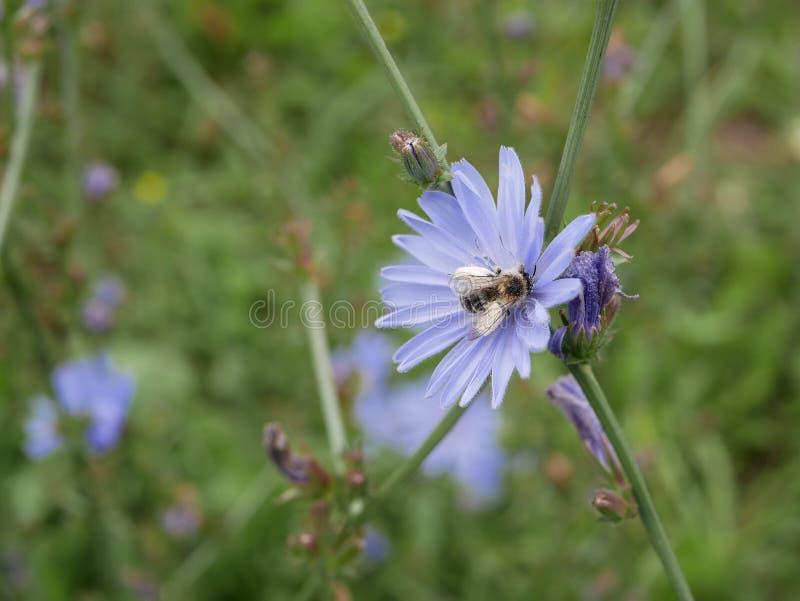 De bij verzamelt nectar op blauwe bloemen van witlof op een Zonnige de zomerdag Vlotte die panning met ondiepe dof wordt geschote stock fotografie