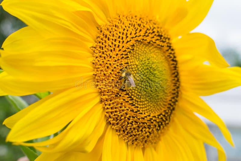 De bij verzamelt nectar op een jonge gele zonnebloembloem met bloemblaadjes royalty-vrije stock afbeelding