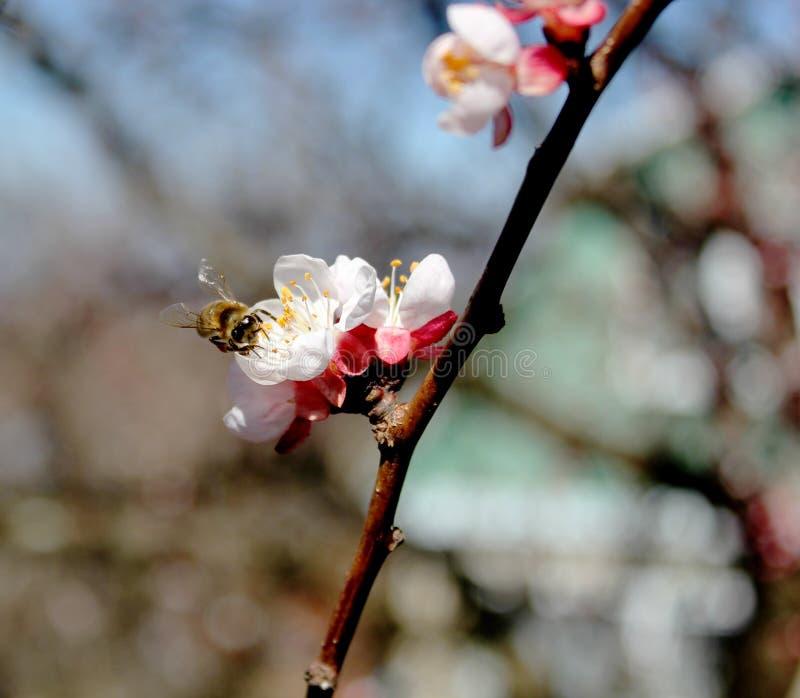 De bij verzamelt nectar van abrikozenbloemen, pruimbloemen in de lente met roze bloemblaadjes en heldere rode bloemen, wit en roz royalty-vrije stock afbeeldingen
