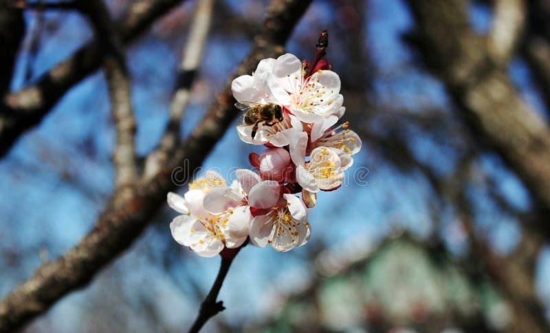 De bij verzamelt nectar van abrikozenbloemen, pruimbloemen in de lente met roze bloemblaadjes en heldere rode bloemen, wit en roz stock foto