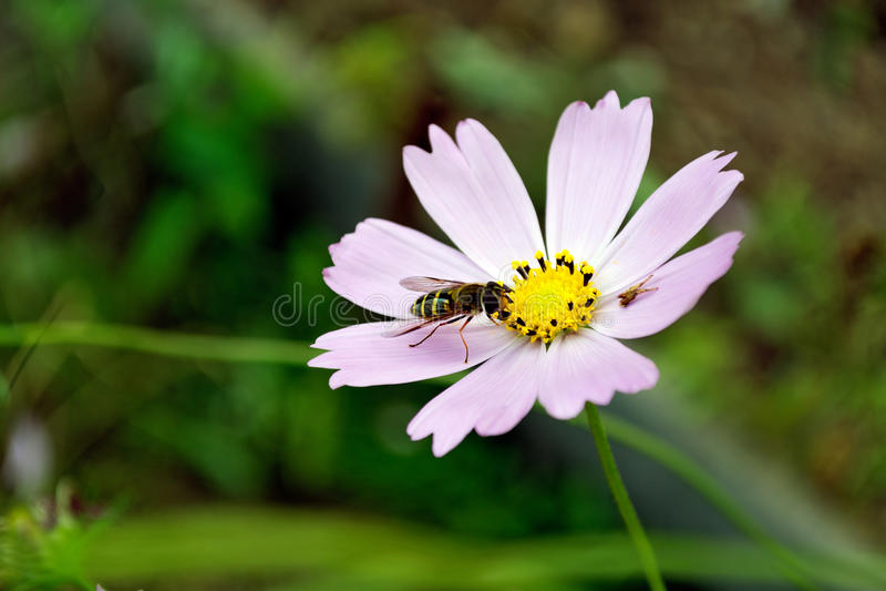 De bij verzamelt nectar van een bloem royalty-vrije stock afbeeldingen