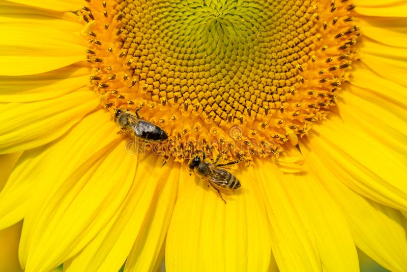 De bij verzamelt nectar van een dichte omhooggaande achtergrond van de zonnebloembloem, banner voor website Vrije ruimte voor uw  stock afbeeldingen