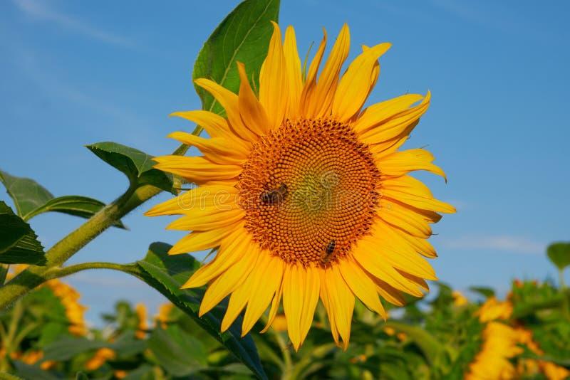 De bij verzamelt stuifmeel op zonnebloem in de zomer royalty-vrije stock foto's
