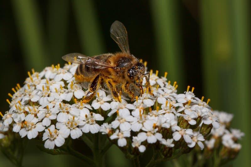 De bij verzamelt zich de nectar van een duizendblad bloeit Dieren in het wild stock afbeeldingen