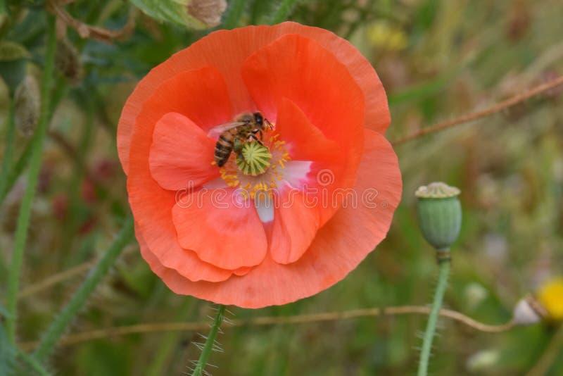 De bij voedert op Oranje Papaver 03 van Vlaanderen stock foto