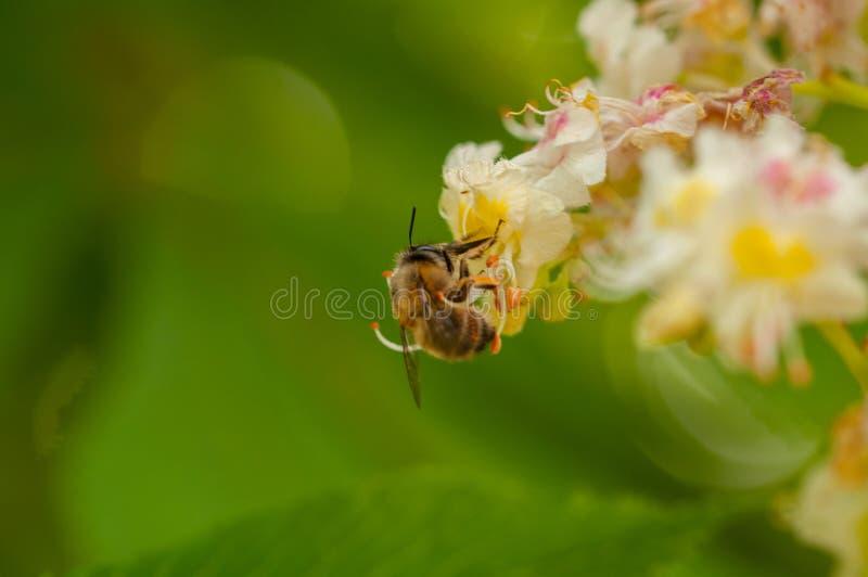 De bij zuigt sap van de bloem Insect in aard royalty-vrije stock foto