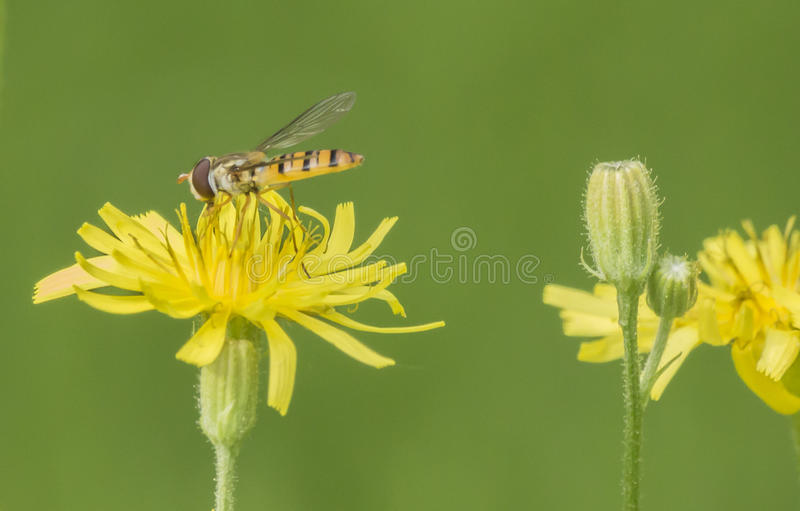 De bijen stock fotografie