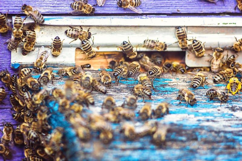 De bijen bij voorbijenkorfingang sluiten omhoog Bij die aan bijenkorf vliegen De honingbijhommel gaat de bijenkorf in Bijenkorven stock fotografie