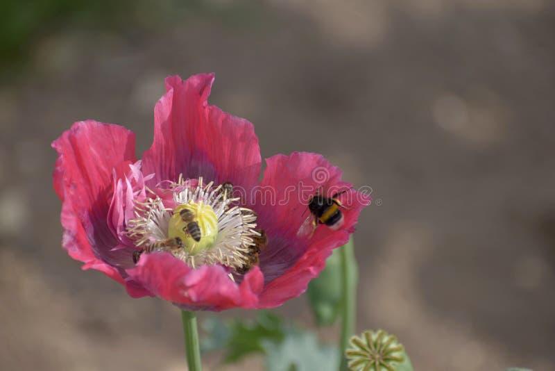 De bijen en de hommels bestuiven de rode papaver Zonnige dag stock foto's