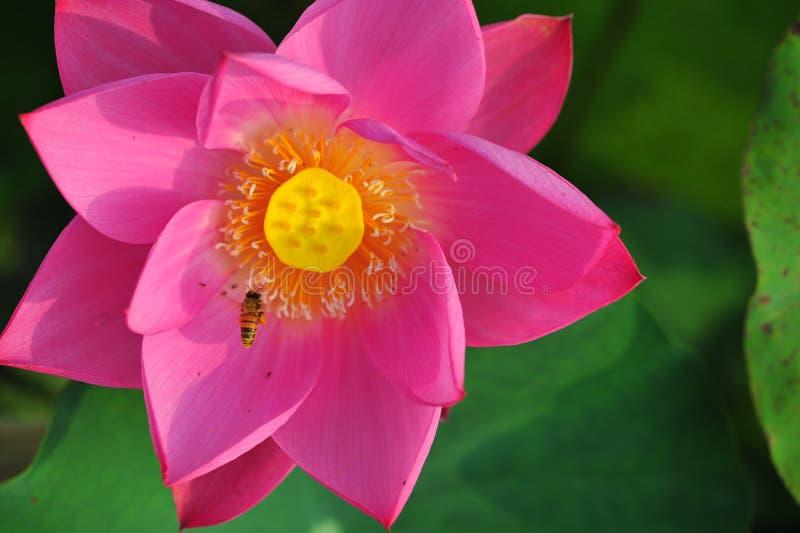 De bijen plukken lotusbloemnectar royalty-vrije stock foto