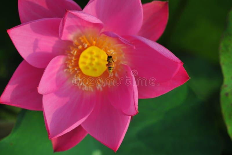 De bijen plukken lotusbloemnectar stock fotografie
