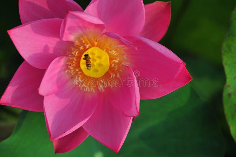 De bijen plukken lotusbloemnectar stock afbeeldingen
