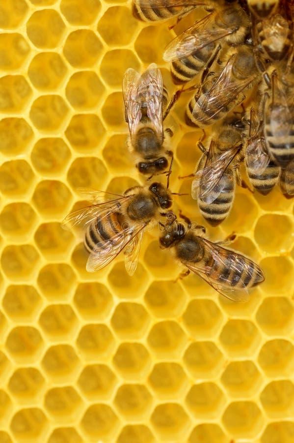 De Bijen van de arbeider op Honingraat stock foto
