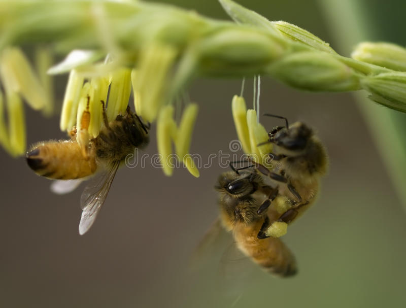 De bijen van de honing bij graanbloem het werken stock afbeeldingen