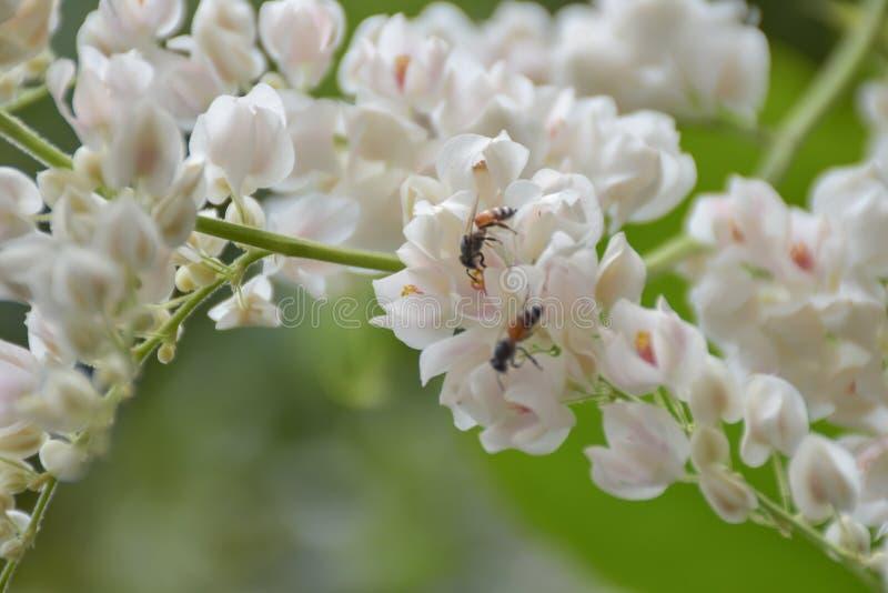 De bijen zuigen van stuifmeel witte bloem stock afbeelding