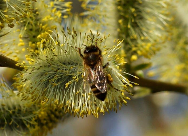 De bijen zullen het rijpe stuifmeel van wilgenbloemen verzamelen stock afbeelding