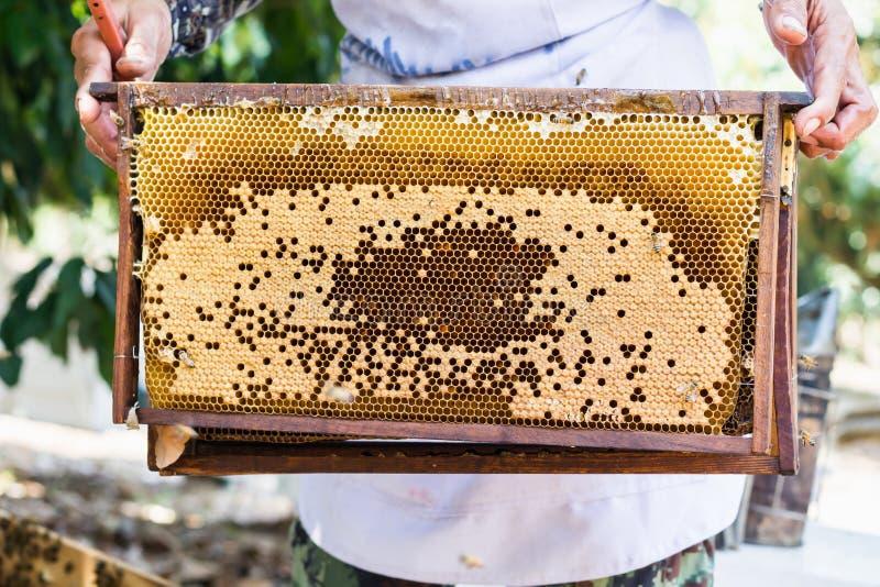 De bijenbijenkorf of het bijennest met landbouwershand, oogst binnen de honingbij royalty-vrije stock afbeeldingen