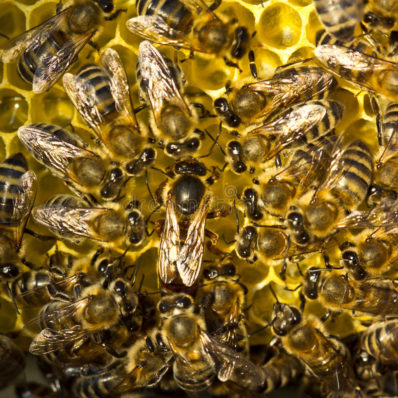 De bijenkoningin legt eieren in de honingraat stock foto