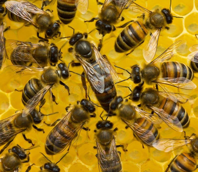 De bijenkoningin legt eieren in de honingraat royalty-vrije stock foto's