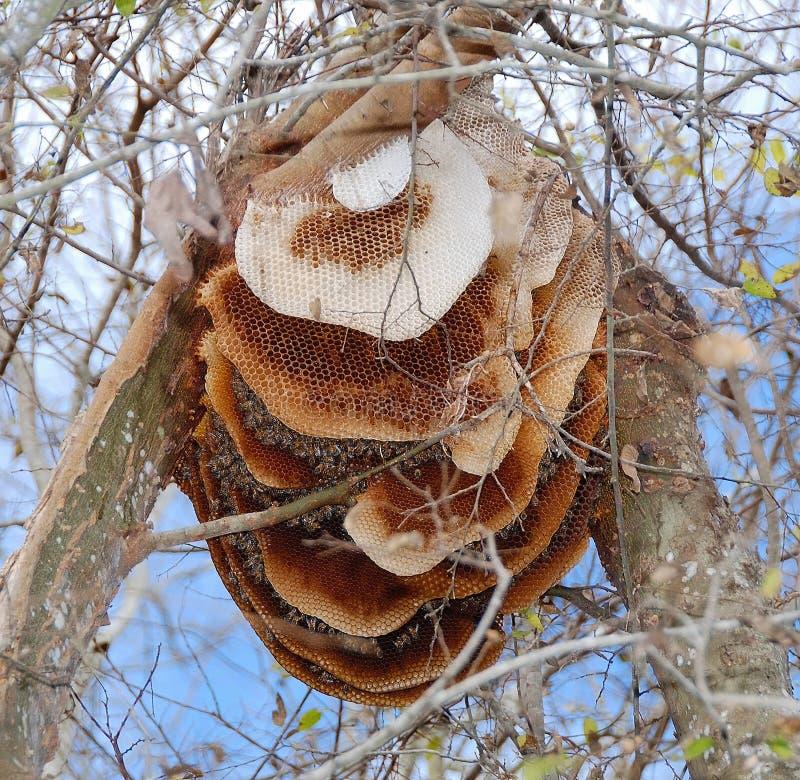 De bijenkorf van de bij in boom