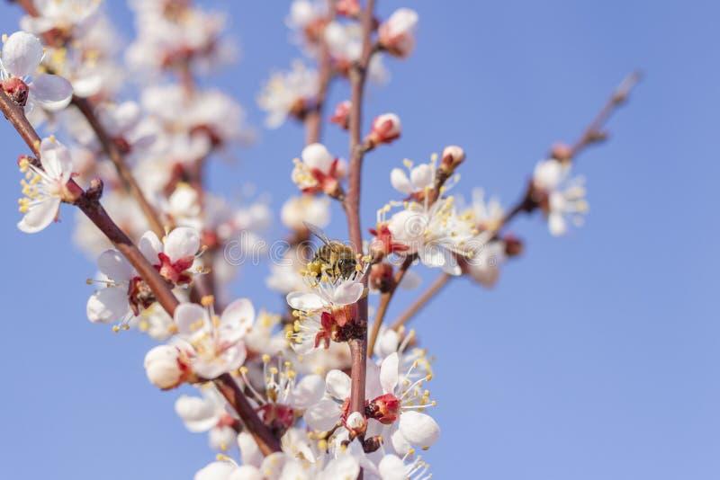 De bijenwesp die stuifmeel verzamelen het bestuiven van de de bloemen bloemlente bloeit op de abrikozenboom van fruitbomen stock fotografie