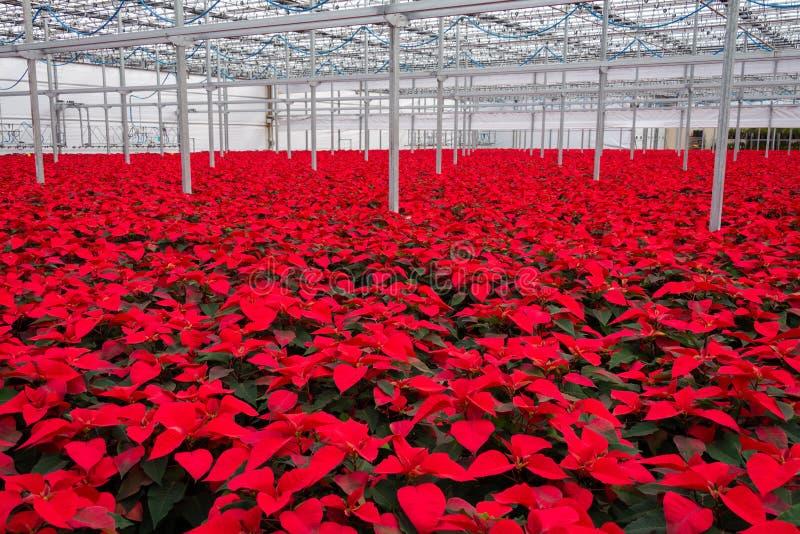 De binnen grote bloemen van serrepoinsettia royalty-vrije stock fotografie