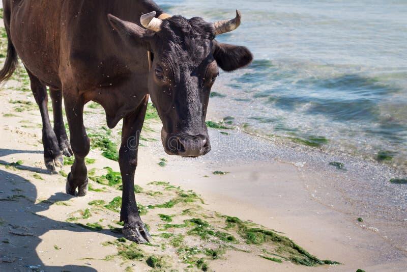 De binnenlandse gangen van de landbouwbedrijf rode zwarte koe op overzeese kuststrandkustlijn royalty-vrije stock foto's