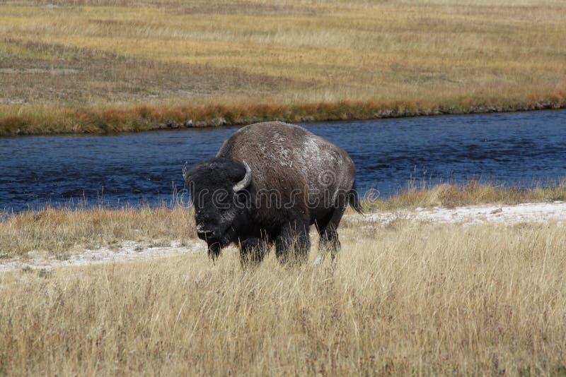 De Bizon, Bizonbizon Zoogdier in Nationaal Yellowstone Park stock fotografie