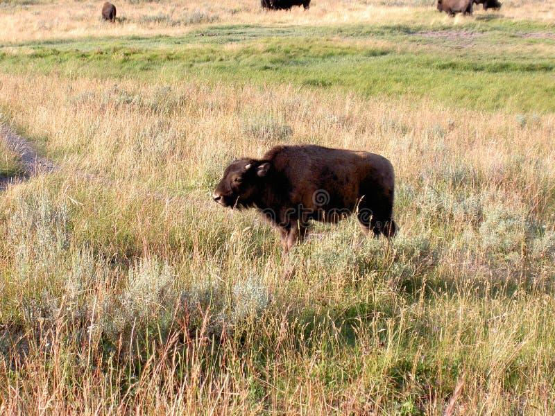 Babybizon (buffels) In Yellowstone Stock Afbeelding