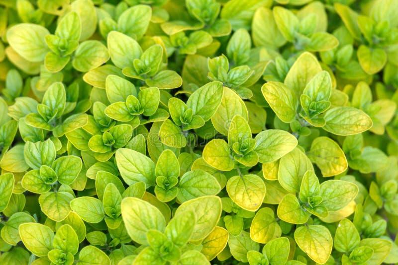 De bladeren die van het oregokruid in moestuin groeien stock foto