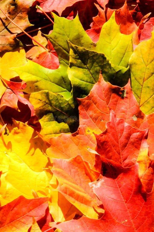 De bladeren van de achtergrond de herfstesdoorn stock afbeeldingen