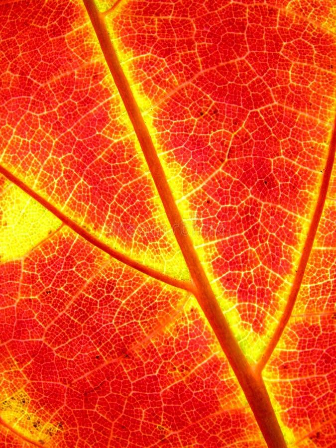 De bladeren van de achtergrond de herfstesdoorn stock foto's