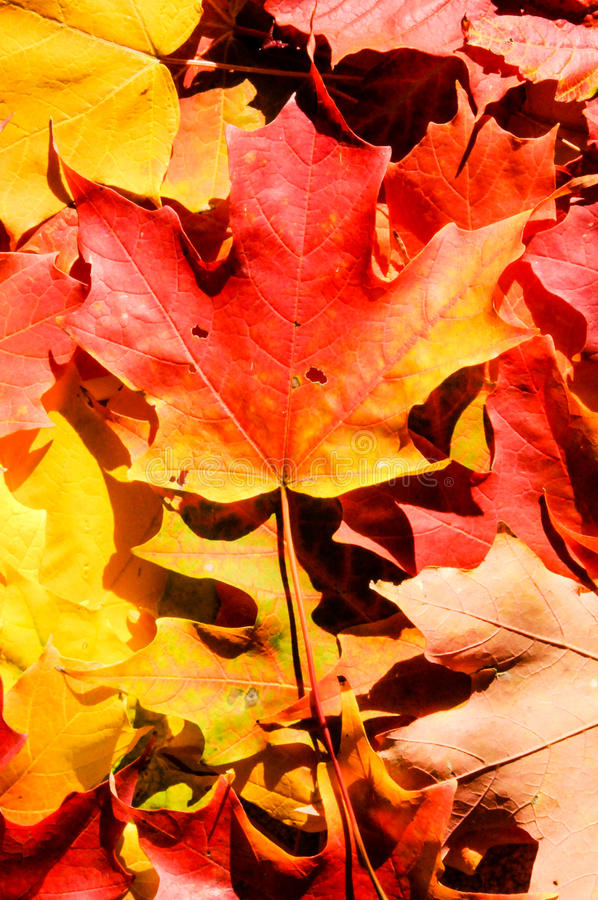 De bladeren van de achtergrond de herfstesdoorn royalty-vrije stock foto