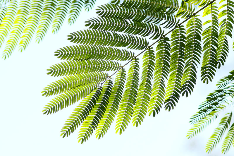 De bladeren van Albizzia stock fotografie