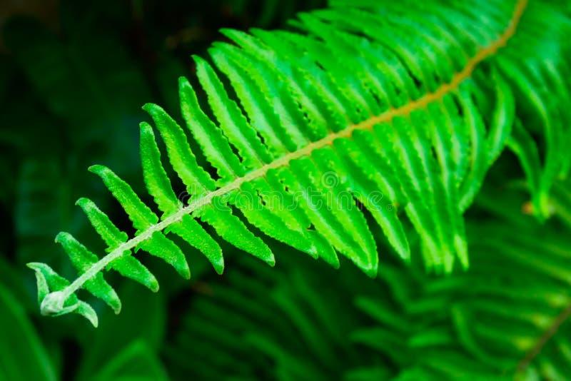 De bladeren van Beautyfulvarens met lichtgroen op natuurlijke bloemenvarenachtergrond in het tropische bos stock foto