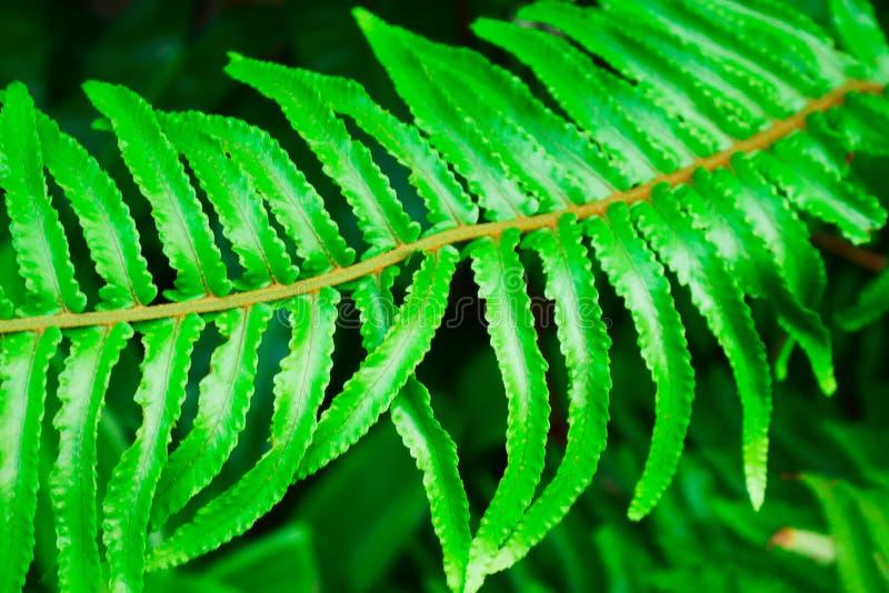 De bladeren van Beautyfulvarens met lichtgroen op natuurlijke bloemenvarenachtergrond in het tropische bos royalty-vrije stock afbeeldingen