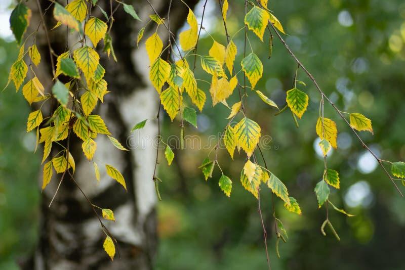 De bladeren van de berkboom in de herfst stock foto