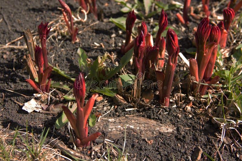 De bladeren van bloemen maken hun manier in de lente Het begin van de groei van bloemen groene Bladeren royalty-vrije stock afbeelding