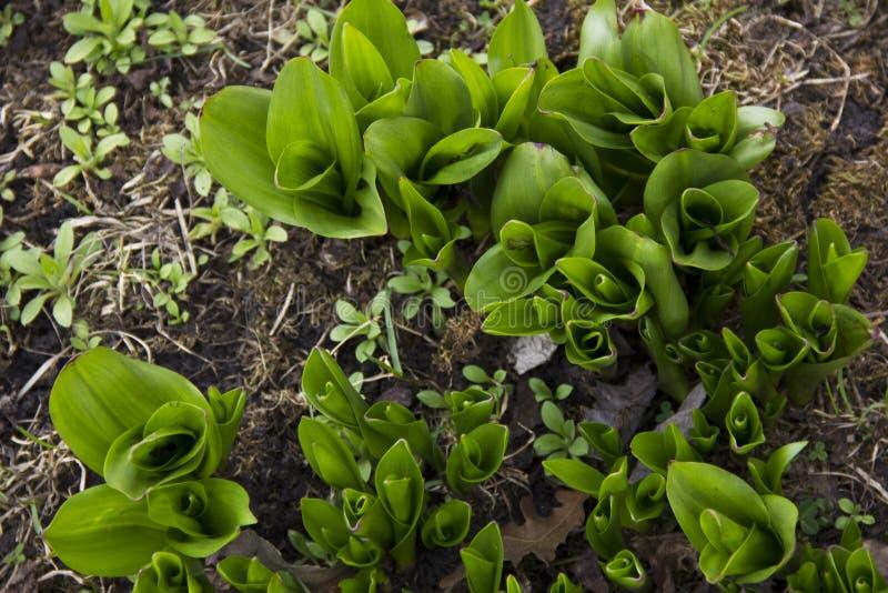 De bladeren van bloemen maken hun manier in de lente Het begin van de groei van bloemen groene Bladeren stock afbeelding
