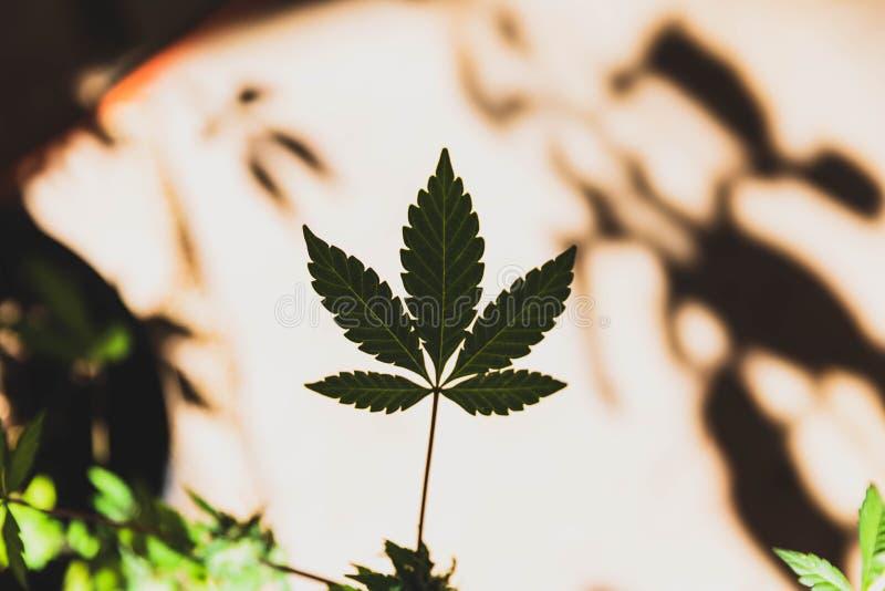 De Bladeren van de cannabisinstallatie, Marihuanablad, Openluchtpotteninstallaties royalty-vrije stock afbeeldingen