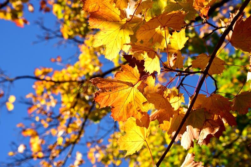 De bladeren van de dalingsesdoorn stock foto