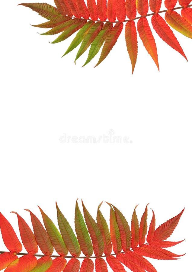 De Bladeren van de As van de lijsterbes stock afbeeldingen
