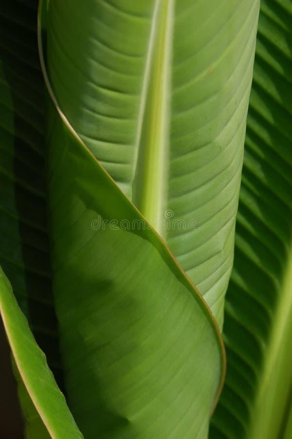 De Bladeren van de banaan stock fotografie