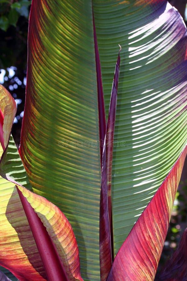 De Bladeren van de banaan royalty-vrije stock fotografie