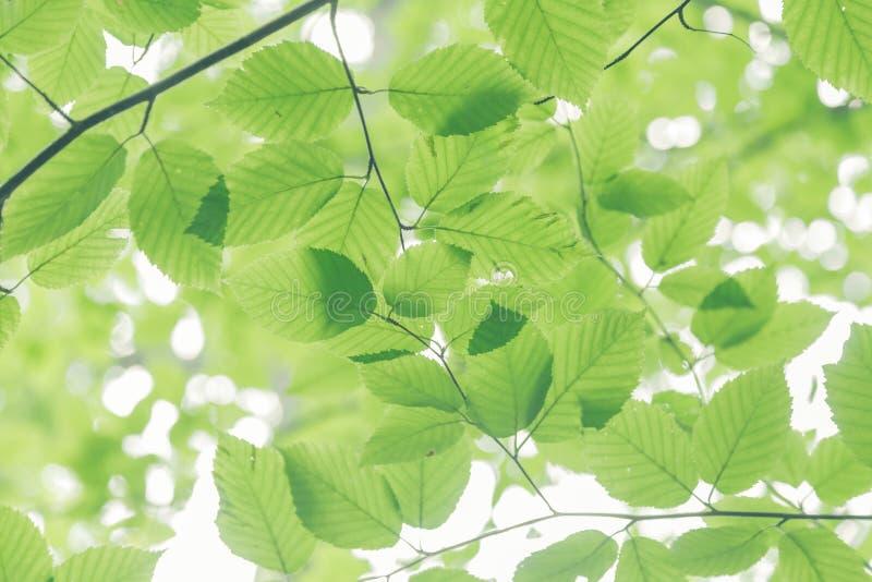 De Bladeren van de beukboom stock fotografie