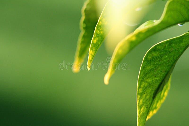 De bladeren van de citroen in zonneschijn
