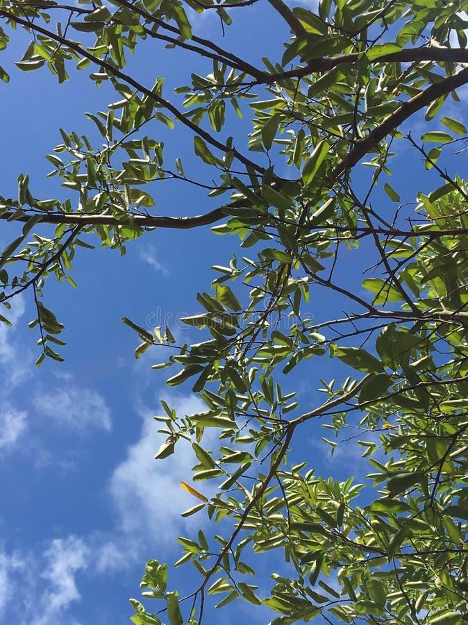 de bladeren van de citroenboom met blauwe hemel stock fotografie