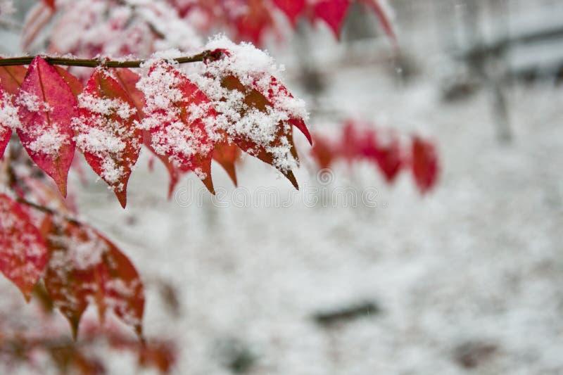 De Bladeren van de daling die in Sneeuw worden behandeld stock afbeeldingen