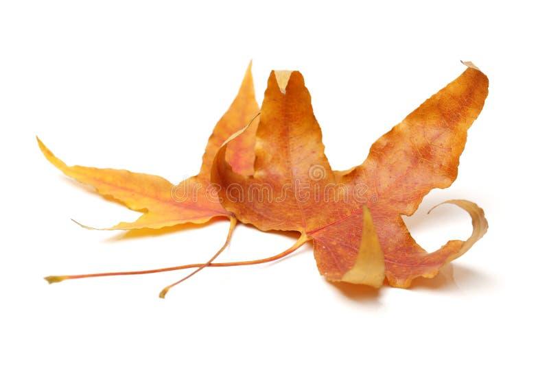 De bladeren van de dalingsesdoorn royalty-vrije stock foto's